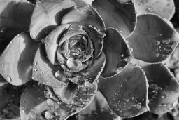 B&W Wednesday: Succulent