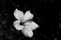 B&W Wednesday: Hibiscus
