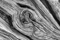 B&W Wednesday: Bristlecone Pine