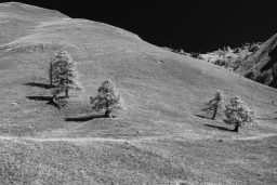 B&W Wednesday: Larches